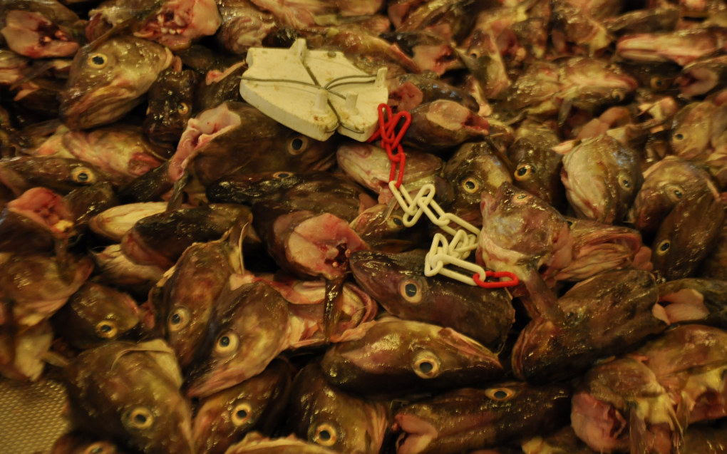 Den nye landslinja for sjømatfaget i Vardø skal kvalifisere elevene både til å gå ut i bedriftene og til å ta videre studier innafor sjømatfaget ved Norges arktiske universitet. Ill. foto: Kirsten Ropeid