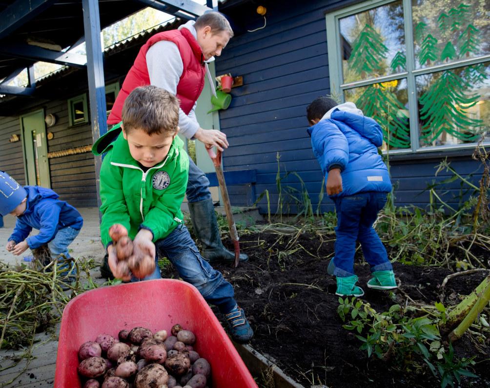 Tre barn graver opp poteter foran barnehagen. De legger potetene i en liten trillebår. En voksen mann hjelper til.