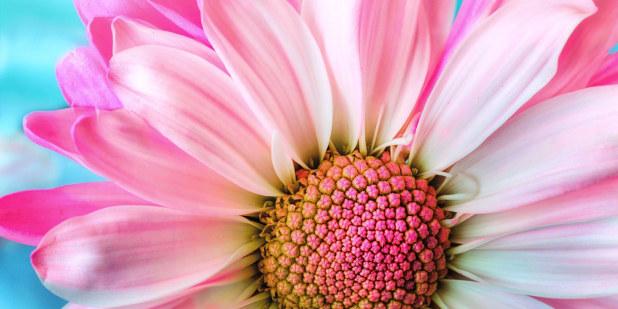 Utsnitt av en blomst i rosa farger